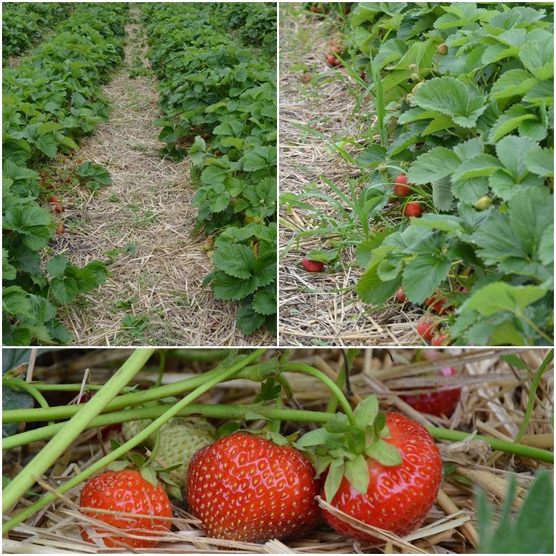 bio erdbeeren (1)