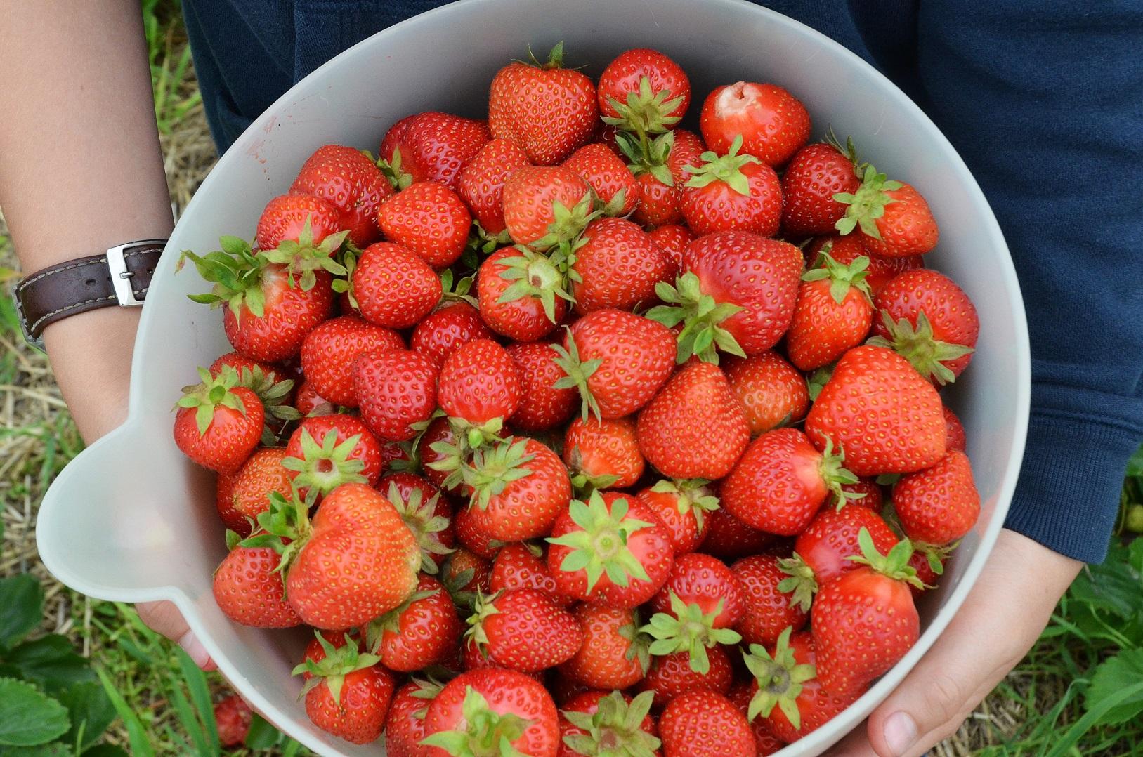 bio erdbeeren (3)