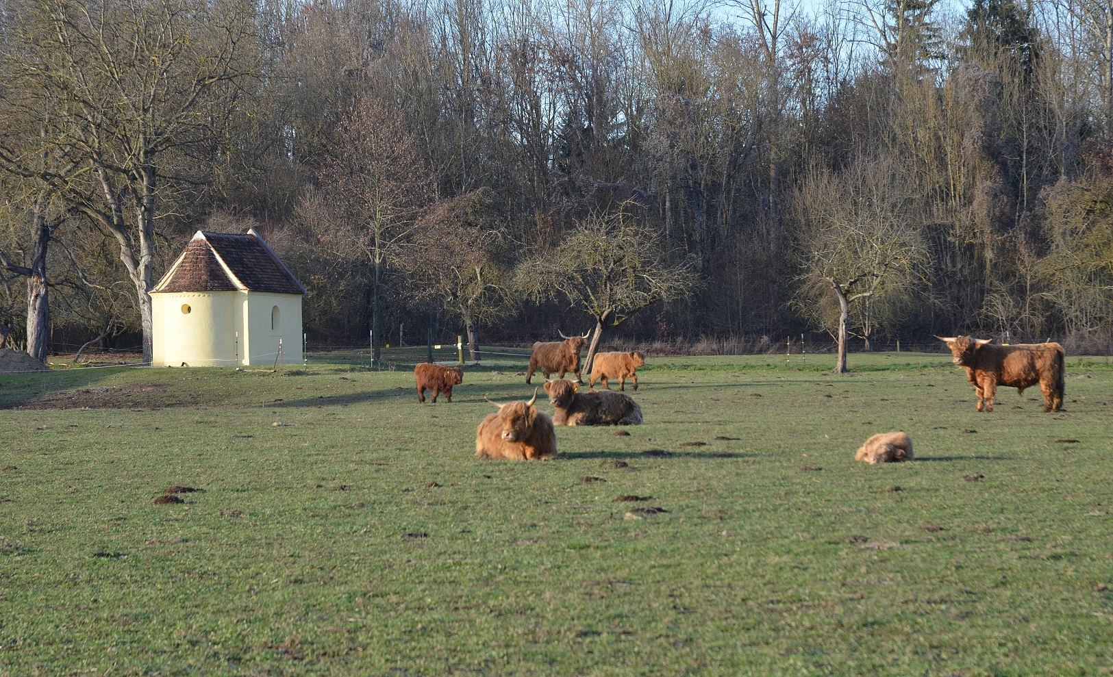 highland-cattle-12