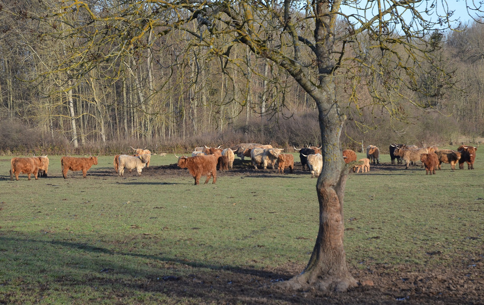 highland-cattle-16