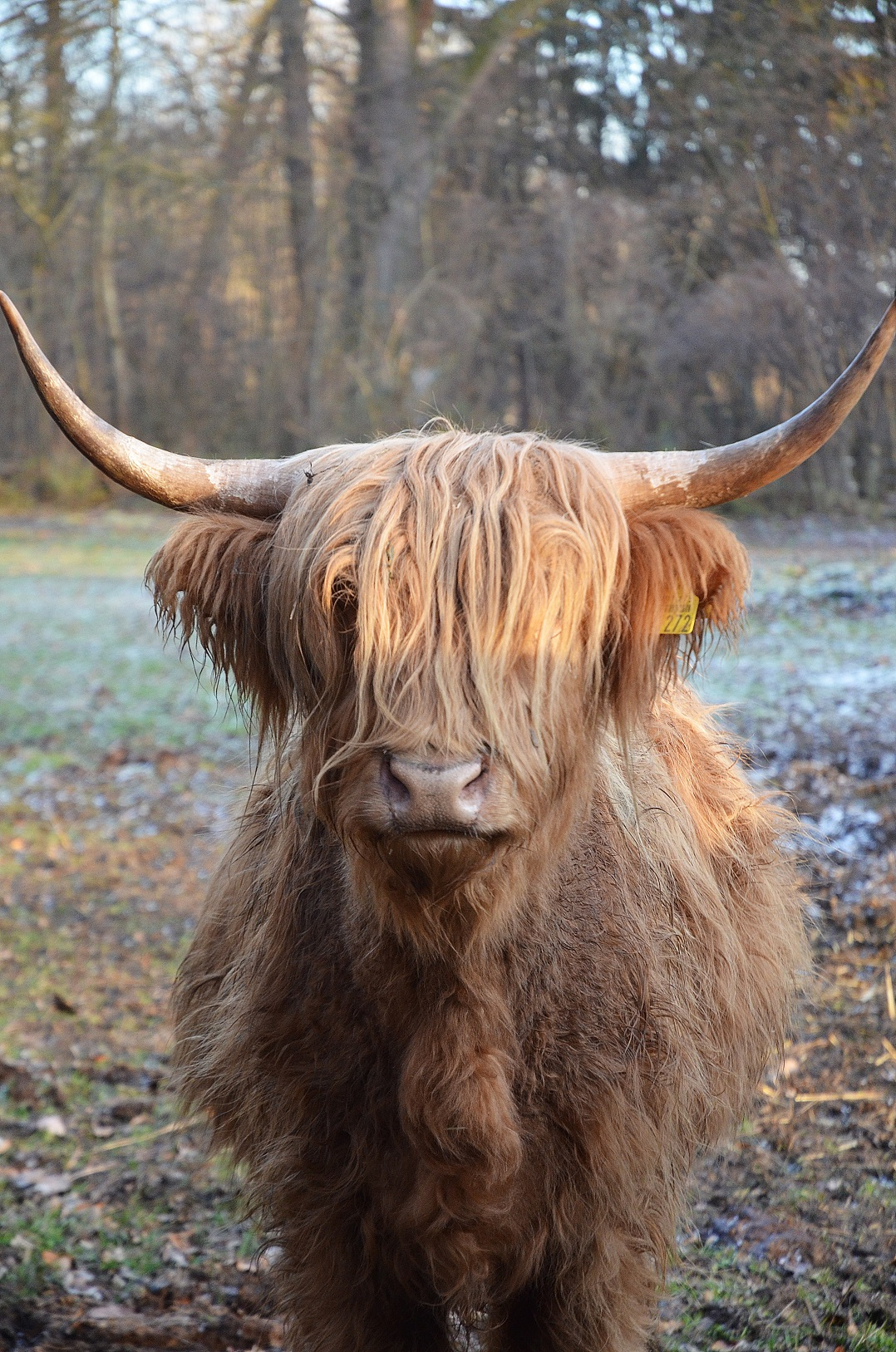 highland-cattle-23