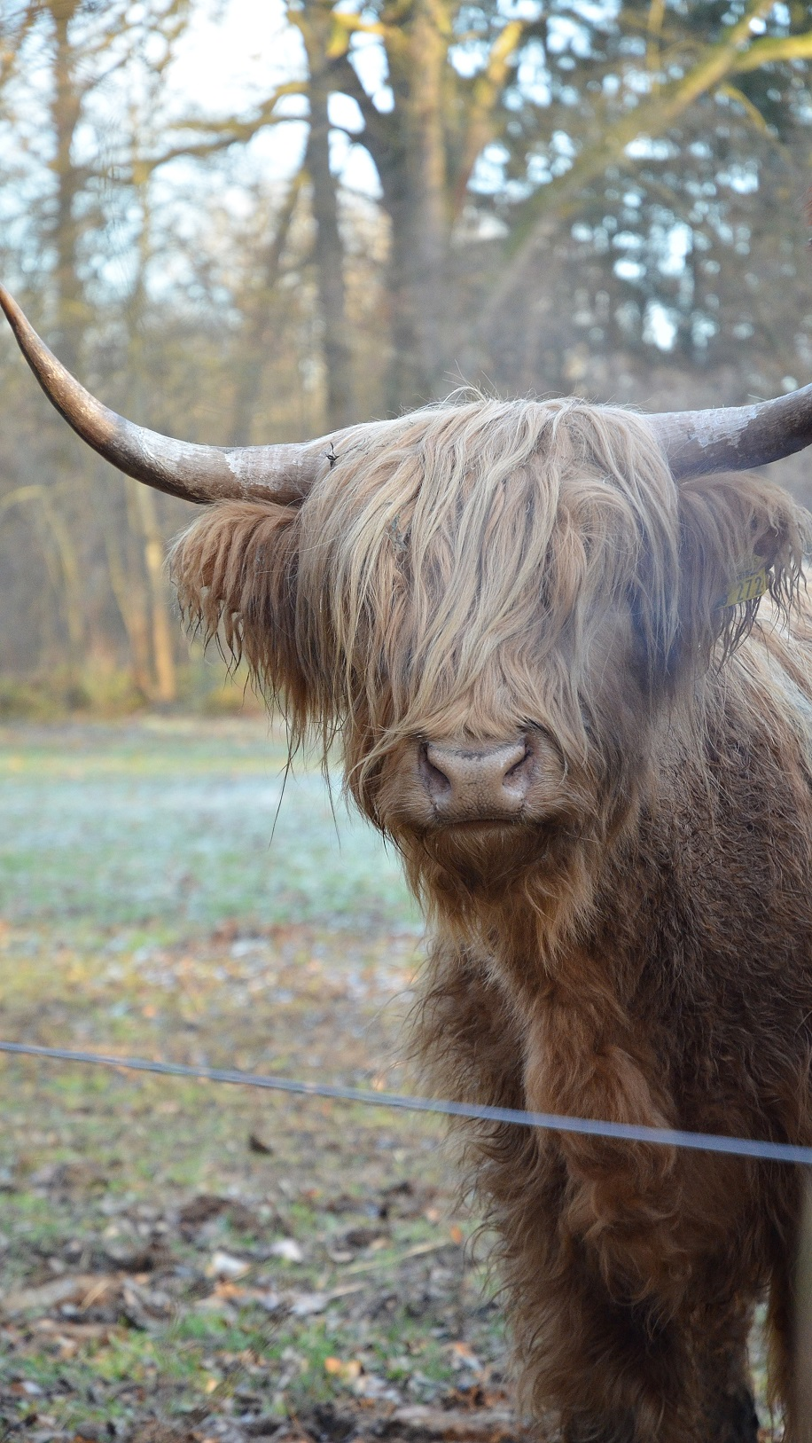 highland-cattle-27